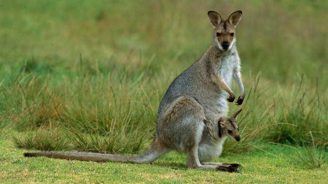 Kangaroo-Baby